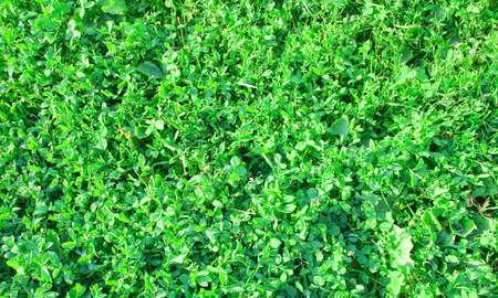 grasses: Green grasses