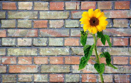terraced: Sunflower over brick wall
