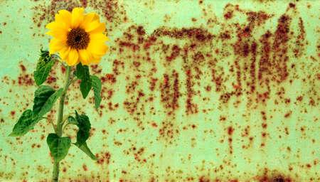 Sunflower over rusty metal Stock Photo - 4465721