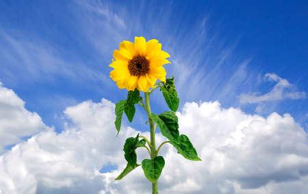 skylight: Sun-flower in the sky Stock Photo