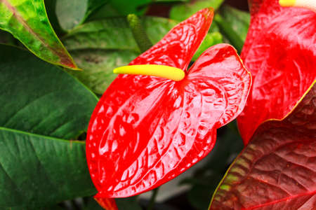 the red anthurium flower of beautiful and good-looking photo
