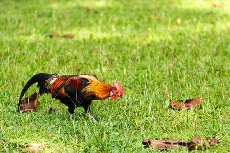 鶏の草の上 写真素材