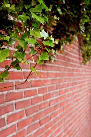 ivy hanging: Ivy growing on the wall