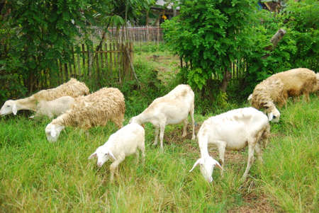 goats eat green grass in the field Imagens