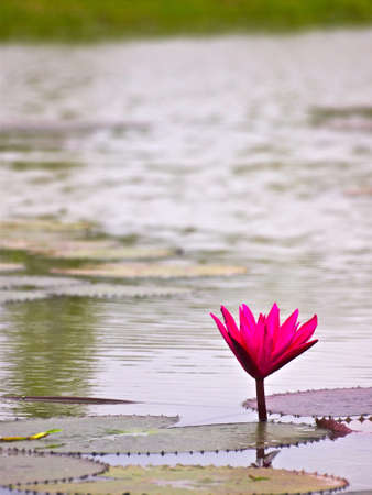 pink water lilly on the pond
