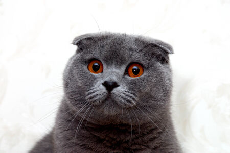 gingery: quite rare cat breed named Scottish Fold with fabulous ears and eyes