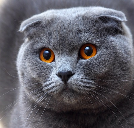 A cat breed named Scottish Fold with fabulous eyes