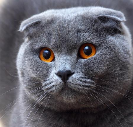 Un gatto di razza di nome Scottish Fold con gli occhi favolosi Archivio Fotografico - 25786223