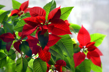 christmas flower: Christmas Flower with dual-colored leaves at home, background out of focus