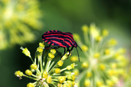 a red-black zebra in insect world photo