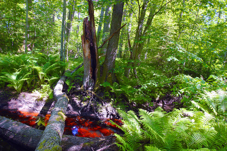 weald: broken bole in wild forest and red brook colored by abundant ferrum content Stock Photo
