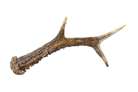 roebuck: A horn of roebuck isolated on white background