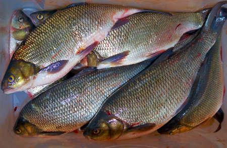 ide: Fresh ide fish catch in transport utensil  Stock Photo