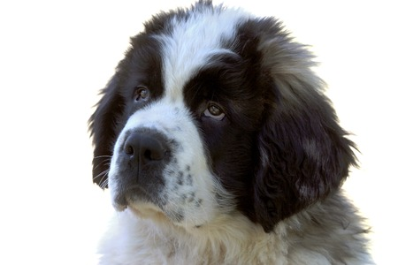 A portrait of an Newfoundland puppy  with its unconventional eyes photo