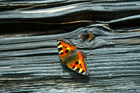 Small tortoiseshell  heating up on aged log wall  photo