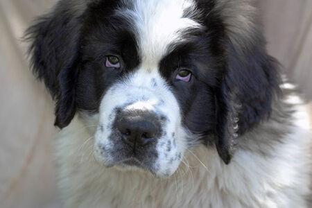 black and white newfoundland dog: A Saint Bernard purebred puppy  with  unique eyes