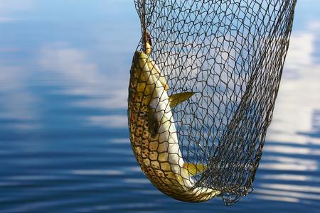 Forel in scoopnet, vissen vanaf boot op meer Inari in Lapland Finland Stockfoto