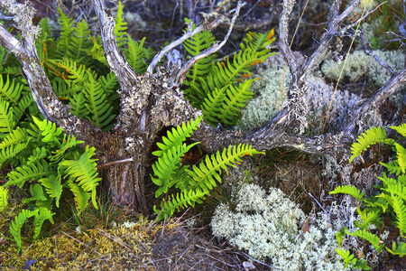 rock bottom: Dried out juniper with fern and moss, growing on rock bottom