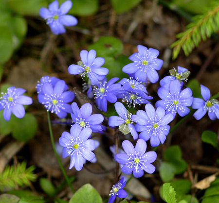 liverwort: Liverwort blossoms on glade in early spring. Stock Photo