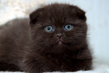 lieing: One of the exotic breed of cats - Scottish Fold  The kitten is lieing and curiously looking  towards the camera with its emerald eyes
