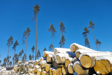 lumbering: Seed pines on lumbering pace with harvested timber pile in foreground.