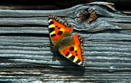 nymphalis: Small tortoiseshell on ancient log wall.
