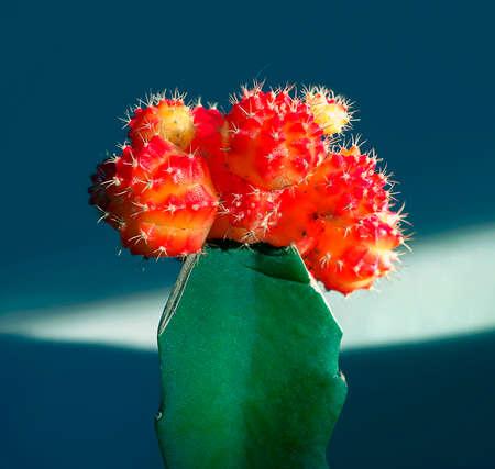 unconventional: Blooming gymnocalyciumcactus come pianta da aiuola non convenzionale a casa.