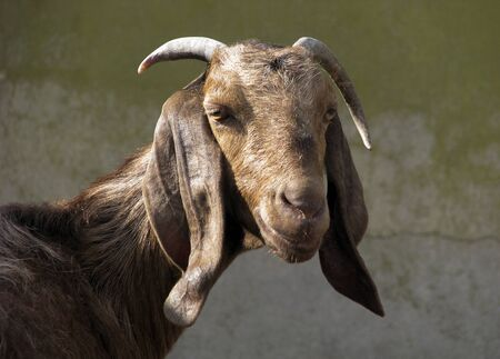 exceptionally: Portrait -  brown Nubian goat with exceptionally long ears ( and subtle smile). Stock Photo