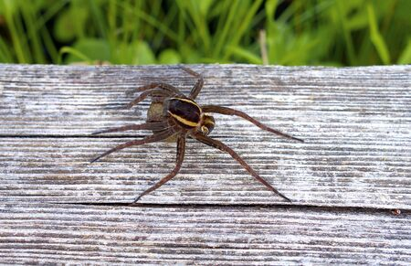without legs: Spider on wooden hiking trail in swamp body size without legs approx 15 mm.