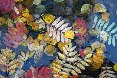 Rowan foglie degli alberi sulle acque del lago in Finlandia settentrionale. Archivio Fotografico - 47665232