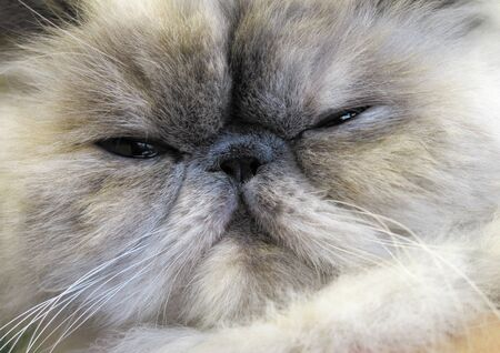 longhair: Cat portrait, Persian longhair breed.