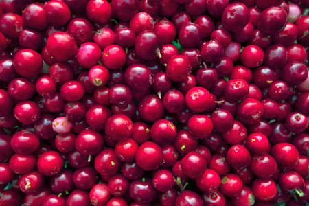 mountain cranberry: Ripe foxberries as vitamin-rich food  background.