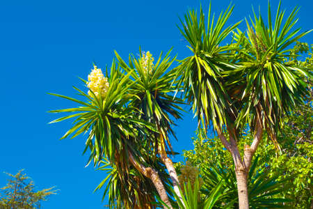 breen: Palm trees with blossoms in Granada, Andalusia, Spain.