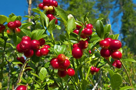 Red cranberries growing in marsh forest. Imagens