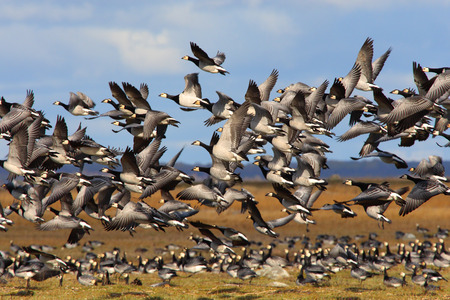 flocking: Migrating barnacle geese late in autumn.