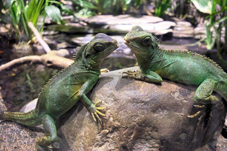Two adult water dragons resting on rock in zoo.