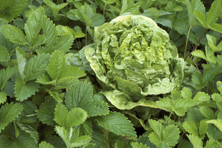 Young lettuce plant growing amongst strawberry leaves in home garden.
