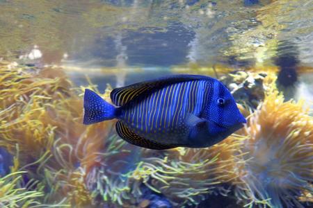Blue tropical fish swimming in aquarium.