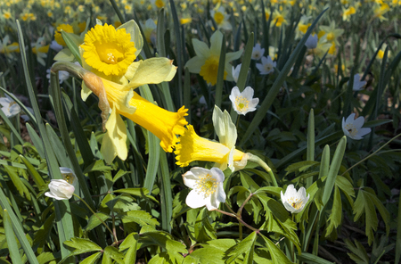 Yellow daffodils leaning to each other like kissing on flower field in spring.