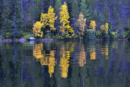 Lake Kuusamo in Finland in autumn with yellow birches at dusk. Archivio Fotografico - 104465171
