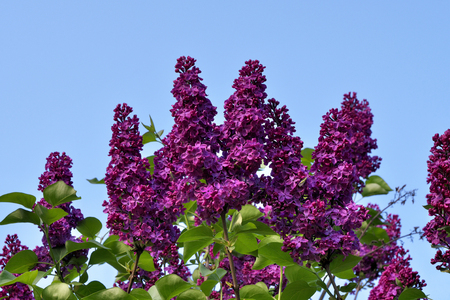 Top of blooming lilac tree against blue summer sky.