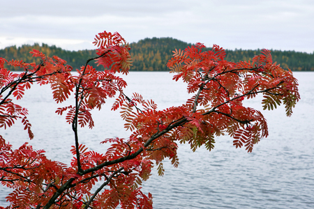 Rowan tree in autumn colors at Kuusamo lake in Finland.