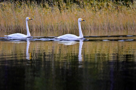 A pair of whooper swans swimming on the lake in Northern Finland.