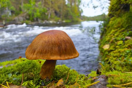 Mushroom on the riverbank of Kitkajoki River in Oulanka National Park in Finland.