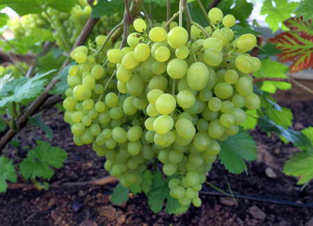 Green grape clusters in greenhouse.