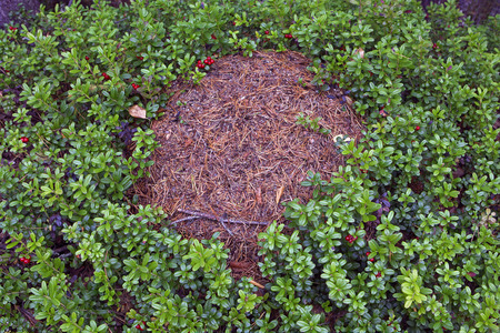 Ants are the longest living insects. Abandoned ant nest in forest amongst foxberry plants in Finland. Archivio Fotografico - 120519006
