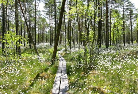 Cotton grass ( eriophorum vaginatum) sorrounding hiking trail  in bog, Estonia.