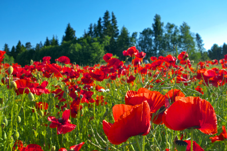 Red poppies gowing on field in summer. Focus on foreground. Archivio Fotografico - 120519013