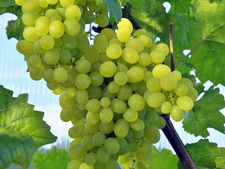 Grape cluster in greenhouse.