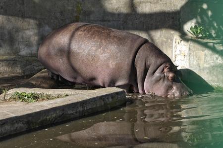 Adult hippo getting into the water in zoo. Archivio Fotografico - 120519117